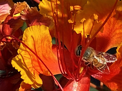 The Fly (oybay©) Tags: fly iphone iphone11 iphone11promax promax mexicanbirdofparadise mexican bird of paradise flower flora fiori blumen arizona spring sky macro orange red yellow backyard bloom bokeh awesome blossoms fantastic