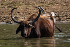 Bubalus sp. (Water Buffalo) - Bovidae - Yala National Park, Southern Province, Sri Lanka-2 (Nature21290) Tags: april2019 bovidae bubalus mammalia southernprovince srilanka2019 yalanationalpark