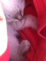 One-month-old kitten (artnoose) Tags: napping asleep sleeping shirt red kitten orange
