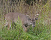 White-tailed Deer Buck - 2