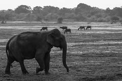 Elephas maximus ssp. maximus (Sri Lankan Elephant) and Bubalus bubalis (Feral Water Bufflo) in the morning - Yala National Park, Southern Province, Sri Lanka (Nature21290) Tags: afrotheria april2019 bovidae bubalus bubalusbubalis domesticwaterbuffalo elephantide elephas elephasmaximus mammalia southernprovince srilanka2019 srilankanelephant yalanationalpark