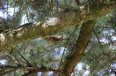 Brown Creeper - 094A7938a1c (Sue Coastal Observer) Tags: browncreeper brcr certhiaamericana langley bc britishcolumbia canada backyard