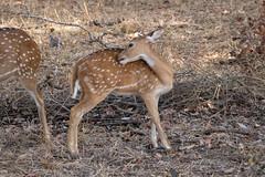 Axis axis (Chital Deer) juvenile - Cervidae - Yala National Park, Southern Province, Sri Lanka-2 (Nature21290) Tags: april2019 artiodactyla axis axisaxis cervidae chitaldeer mammalia southernprovince srilanka2019 ungulate yalanationalpark