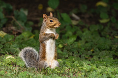 Squirrel in my back yard (Lynn Tweedie) Tags: 7dmarkii missouri squirrel sigma150600mmf563dgoshsm eos green canon eye ngc animal