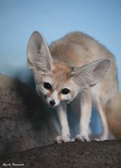 G08A2516.jpg (Mark Dumont) Tags: fox fennec zoo mark dumont cincinnati mammal