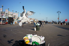 Diving (dtanist) Tags: nyc newyork newyorkcity new york city sony a7 7artisans 35mm brooklyn coney island seagull sea gull bird flying garbage bin can boardwalk nathans