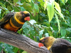Colourful Couple (mikecogh) Tags: adelaide zoo birds pretty native australian couple pair branch