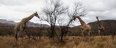 Giraffes on the Move Kruger National Park South Africa enhanced infrared 665nm (andrewantipin) Tags: giraffe animals kruger africa southafrica gamepreserve infrared