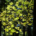 Sycamore tree in early autumn at Echo Spring, Mammoth Cave NP