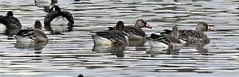 Greater White-fronted Goose (Anser albifrons) (gabicuff1) Tags: greaterwhitefrontedgoose abbotsford britishcolumbia canada