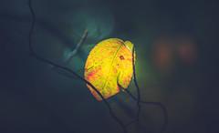 Backlit autumn leaf (Dhina A) Tags: sony a7rii ilce7rm2 a7r2 a7r kodak ektanar c 102mm f28 projection projector lens kodakektanar102mmf28 vintage bokeh smooth soft bubble manualfocus backlit autumn leaf