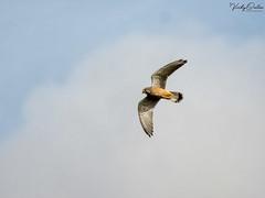 🇬🇧 Kestrel SVP 7389- (vickyouten) Tags: vickyouten kestrel wildlife nature nikon nikond7200 nikkor55300mm sankeyvalleypark warrington uk