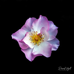 Dark Flower 4 (Darrell Wyatt) Tags: dark flower rose petal black background stamen pink white contrast