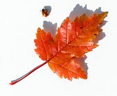 escape (explore) (Antti Tassberg) Tags: autumn red fall colors minimal syksy lehti ruska leppäkerttu mongolianvaahtera leaf minimalistic simplified ladybug explore