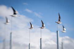 South New Brighton Godwits (johnstewartnz) Tags: southnewbrightongodwits canon canonapsh apsh eos 1dmarkiii 1d3 1dmark3 1d 1dmkiii 1diii canoneos1dmkiii lensbaby lensbabycomposer 50mm