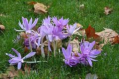 Autumn Flowers (Eleanor (New account))) Tags: flowers autumncrocus leaves stjamesspark london england uk nikond7100 october2019