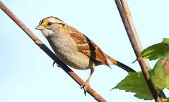 white-throated sparrow at Kendallville WMA IA 653A7160 (naturalist@winneshiekwild.com) Tags: whitethroated sparrow kendallville wma winneshiek county iowa larry reis