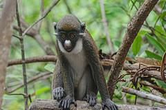 CIRCOPITECO NASO BIANCO    ----    EXPLORE (cune1) Tags: animali animals natura nature alberi trees fiume river foresta forest africa costadavorio areadisanpedro