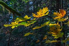 Autumn's light catchers. (Picture-Perfect Pixels) Tags: flickrexploreoctober152019 sun witty'slagoontrail britishcolumbia vancouverisland trail woodland serene beautiful oranges spotlit autumn leaves trees