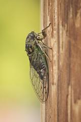 A Cicada In The City (designwallah) Tags: animal bug canada cicadas classinsecta flickr galtavenue kingdomanimalia laneway ontario phylumarthropoda ruelle toronto urbanexploration urbannature