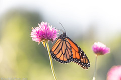 1-watermark (Brian M Hale) Tags: monarch butterfly insect outside outdoors nature tower hill botanic garden boylston ma mass massachusetts botanical newengland usa brian hale brianhalephoto