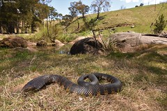 Notechis Scutatus (Tiger Snake) (Tom Frisby) Tags: snake snakes reptile reptiles herp herping australia nsw fauna wildlife wild