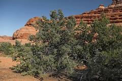 Utah Juniper (Juniperus osteosperma) (Ron Wolf) Tags: archesnationalpark cupressaceae juniperusosteosperma nationalpark utahjuniper botanical botany desert nature tree utah