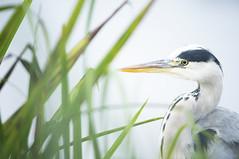 Grey Heron (Benjamin Joseph Andrew) Tags: bird waterbird one lone single individual freshwater lake wetland waterbody looking staring fishing