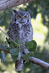 Great Horned Owl (abenvie1) Tags: d500 nikon nature owl