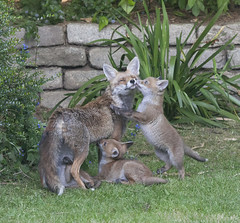 Young fox cubs in a suburban garden in south London. There are seven cubs in the litter and their mother regularly feeds them and grooms them on the lawn. (Anna Watson) Tags: fox cub cubs foxcubs foxcub vixen parent child baby animal wildanimal wildlife lawn grass garden suburban urbanfox family mother motherhood nature natural feral scavenger pest siblings brothers sisters