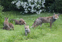 A fox vixen and her litter of cubs in a garden in south London. (Anna Watson) Tags: fox urbanfox wildllife animal wild wildanimal cub vixen mother baby babies garden lawn bush shrub shrubs bushes grass play playfight protect teach learn motherhood litter cubs siblings brothers sisters scavenger vermin feral