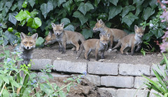 A female fox (vixen) with her cubs in a suburban garden in south London. There are seven cubs in the litter. (Anna Watson) Tags: fox vixen female mother cub baby babies young litter foxcub foxcubs urbanfox wildlife pest pests den burrow foxhole play playfight feed milk suckle suckling weaning may mothersmilk siblings family families