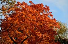 Munich - Fall Foliage (cnmark) Tags: germany munich deutschland münchen bayern bavaria englischergarten englishgarden tree baum autumn fall herbst blätter leaves foliage color colour ©allrightsreserved