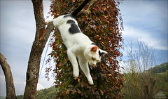 Jump Into Autumn ♣ (Xena*best friend*) Tags: richardgere rg virginiacreeper jumpingcats jump cats whiskers feline katzen gatto gato chats furry fur pussycat feral tiger pets kittens kitty animals piedmontitaly piemonte canoneos760d italy wood woods wildanimals wild paws calico markings ©allrightsreserved purr digitalrebelt6s flickr outdoor animal pet photo nature catlover autumn automne autunno outono canonefs18135mmf3556isstm