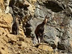 Gros plan sur les Chamois de la roche pourrie - Salins les Bains - Jura (francky25) Tags: les chamois de la roche pourrie salins bains jura daniel ramey franchecomté photo animalière paysage