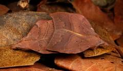 Dead Leaf Mimic Lappet Moths (Arguda cf. viettei, Lasiocampidae) (John Horstman (itchydogimages, SINOBUG)) Tags: insect macro china yunnan itchydogimages sinobug entomology canon moth lepidoptera lappet 2 brown lasiocampidae