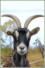 Chèvre 191013-01-P (paul.vetter) Tags: chèvre mammifère capridé