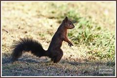 Ecureuil guet 191010-01-P (paul.vetter) Tags: écureuil mammifère sciuridé squirrel eichhörnchen ardilla