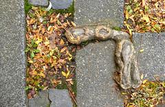 right angle root (erix!) Tags: root wurzel baumwurzel pflaster concrete beton laub leaves autumn automne rectangular rechtwinklig