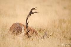 cerf-0168 (Philippe Druesne) Tags: cervuselaphus cerfélaphe reddeer stag rut brame animal mammifére mamal mammifère cervus elaphus cerf élaphe red deer