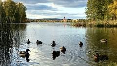 Mallards in lake Tisken (halleluja2014) Tags: october höst autumn falun sjö lake tisken gräsänder mallards