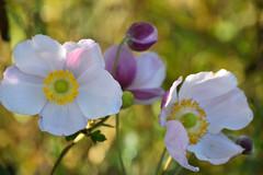 Anémone du Japon (Croc'odile67) Tags: nikon d3300 sigma contemporary 18200dcoshsmc fleurs flowers nature automne autumn