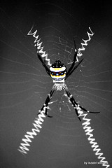DaR-X Spider Web in Selected colors IMG_9465 (iezalel7williams) Tags: spider x web beautiful black blackwhite photo selectivecolor animal insect fauna nature naturalplace nice canoneos700d macro beauty abstract animalmade geometry