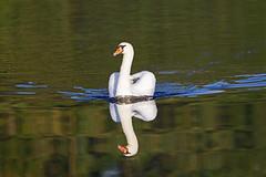 full steam ahead - Mute swan (Cygnus olor) - Riverside Valley Park, Exeter, Devon - Sept 2019 (Dis da fi we) Tags: mute swan cygnus olor exeter devon riverside valley park