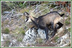Chamois 191013-04-P (paul.vetter) Tags: mammifère chamois