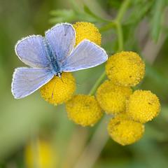 Azuré commun mâle à La Gombe (Esneux) (Nicopope) Tags: papillon schmetterling mariposa farfalle vlinder azuré lagombe animal nature butterfly nikon d7100 300mm bleu