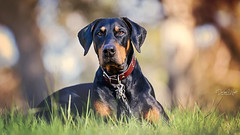 Riley in the grass... getting his serious look on (Riley-Dobe) Tags: