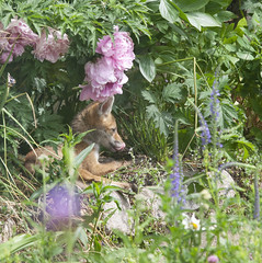 A fox cub, aged about 3 months, sun-bathes in the flower bed of a garden in south London. (Anna Watson) Tags: foxcub 3months sunbathe sunbathing relax relaxing relaxed sunny flowers suburbs suburban urbanfox fox cub flowerbed garden southlondon june wild feral wildlife scavenger pest mammal animal gardenanimal gardenwildlife