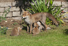 A fox vixen and her cubs in a suburban garden in Clapham, south London. She has a litter of six cubs. (Anna Watson) Tags: fox vixen cubs suburban garden clapham southlondon litter foxcubs wildlife animals gardenanimals urbanfox gardenanimal female mother babies babyfox foxes lawn bushes bush fence ivy flowerbed feeding playing suckling milk mothersmild suckle