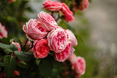 Roses (mladencoko) Tags: helios442 samsungnx1000 mirrorlesscamera roses flowers vintagelens colors colorful nature naturallight russianlenses